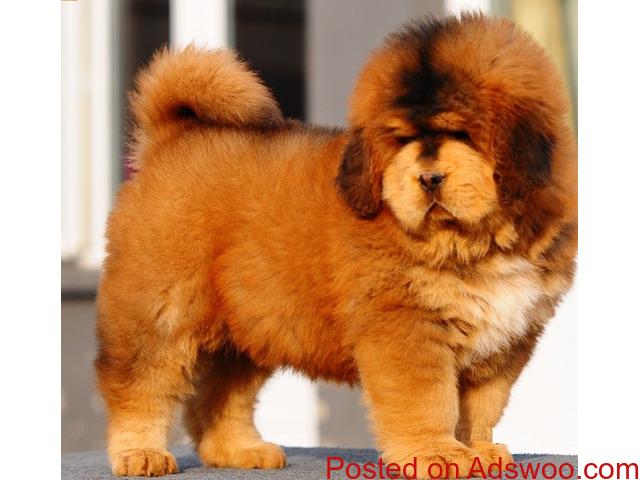 Lion Head Chinese Tibetan Mastiff
