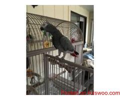 African Grey Congo Parrots