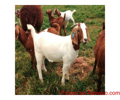 wholesale Pure bred boar goats for sale /Whatsapp: +27621354579