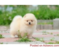 Teacu.p Pomeranian Puppiesd For S ale