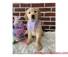 Heather Golden Retriever Puppies For Sale