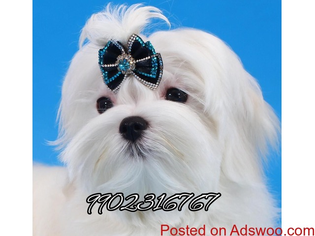 outstanding maltese quality puppies for sale in bangalore - 1/3