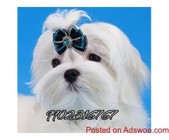 outstanding maltese quality puppies for sale in bangalore