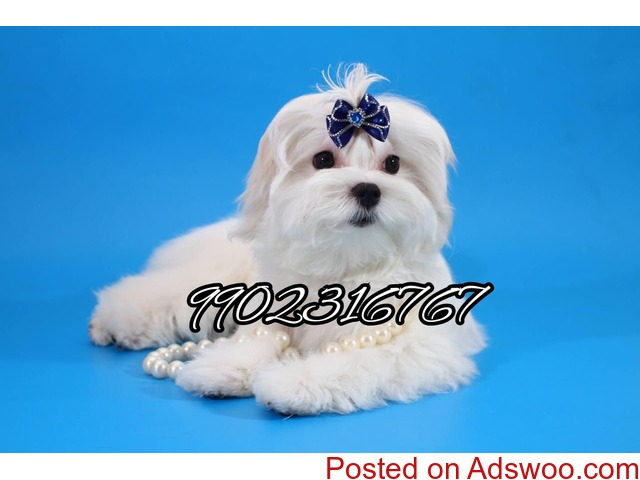 outstanding maltese quality puppies for sale in bangalore - 3/3