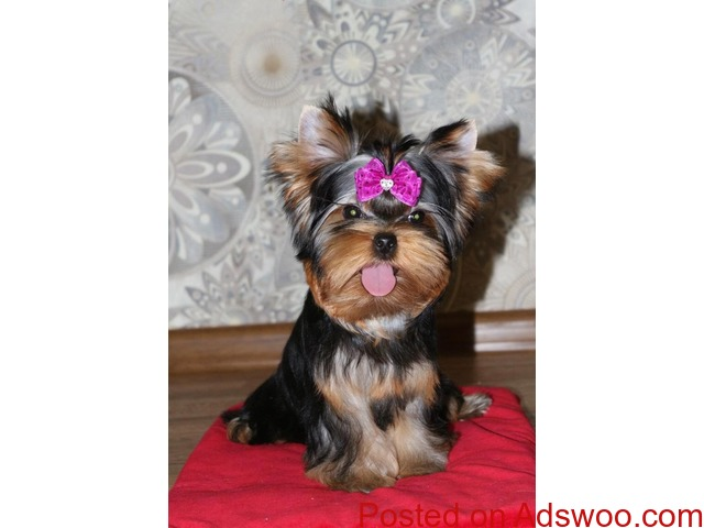 top most quality yorkshire terrier puppies for sale in bangalore - 1/3