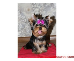 top most quality yorkshire terrier puppies for sale in bangalore