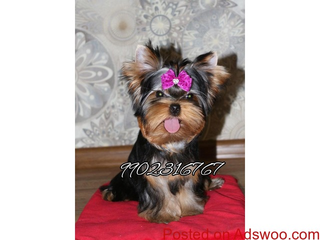top most quality yorkshire terrier puppies for sale in bangalore - 2/3