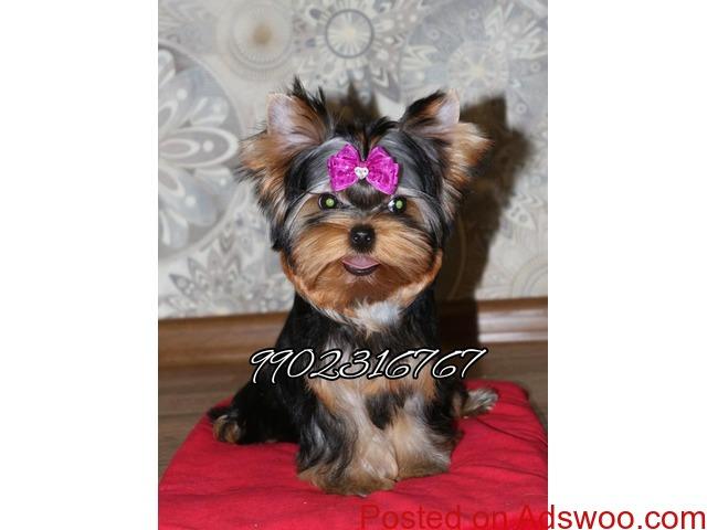 top most quality yorkshire terrier puppies for sale in bangalore - 3/3