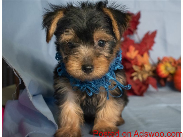 Charming Yorkie Puppies For Adoption TEXT (320) 287-8134 - 1/1