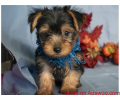 Charming Yorkie Puppies For Adoption TEXT (320) 287-8134
