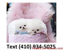 Outstanding t-cup Pomeranian puppies for sale.